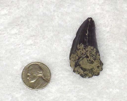 Mason's Mosasaurus Tooth