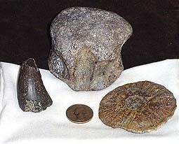 Huge Mosasarus vertebre and Tooth!